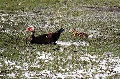 Baby Muscovies (zeesstof) Tags: cairinamoschata containmentpond ducklings family muscovyduck naturewalk sterlingridge texas thewoodlands zeesstof