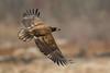 Pygargue immature / Immature Bald Eagle (Jean-Marc Cossette) Tags: rapaces waterdroplets baldeagle pygargueàtêteblanche gouttelettes conowingodam raptors immature maryland re