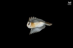 Coruja-das-torres, Barn Owl (Tyto alba) (xanirish) Tags: corujadastorres barnowltytoalbanunoxavierlopesmoreira ngc xfx35 national geographic wildlife nuno xavier moreira wwwvidaselvagemnoturnapt selvagem owls corujas birds prey night aves portugal lezirias rapina nocturnas noturnas tytoalba barnowl commonbarnowl running
