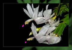 Christmas cactus in white double framed (scorpion (13)) Tags: christmas cactus white flower blossom frame photoart winter nature color creative
