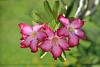 Adenium obesum (ArvinderSP) Tags: flowers india nature 579 chennai naturephotography desertrose adeniumobesum natureupclose arvindersingh nikond7000 tamronaf18270mmf3563diiivcpzd arvindersp arvinderspcom