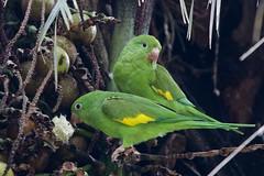 Yellow-chevroned Parakeet (Alan Gutsell) Tags: birds parrot parakeet analandia naturephoto brazilbirds yellowchevronedparakeet birdsofbrazil yellowchevroned wildlifephoto alangutsell