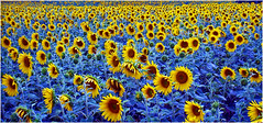 ANS- sea of blue (ansels_sherpa OFF, gone fishing leave a message) Tags: flowers blue green art nature beauty yellow rural landscape ngc vivid sunflowers striking saariysqualitypictures vividstriking infinitexposure