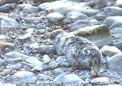 An Expectant Grey Seal Near Burwick? (orquil) Tags: uk autumn female islands scotland cow orkney october adult wildlife pregnant seal beached selkie geo ashore greyseal southronaldsay burwick halichoerus grypus