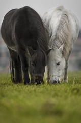 the newcomers (Dan65) Tags: horse white black mare pony american shetland filly