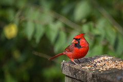 Cardinal (hey its k) Tags: male birds cardinal hfg grindstonemarsh canon6d cherryhillrbg img0904edit
