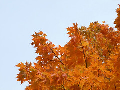 """Details of the Fiery leaves • <a style=""""font-size:0.8em;"""" href=""""http://www.flickr.com/photos/34843984@N07/15236858519/"""" target=""""_blank"""">View on Flickr</a>"""