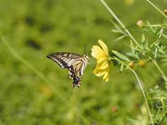 (Polotaro) Tags: nature pen butterfly bug insect olympus  zuiko 9         mzuikodigital45mmf18 epm2