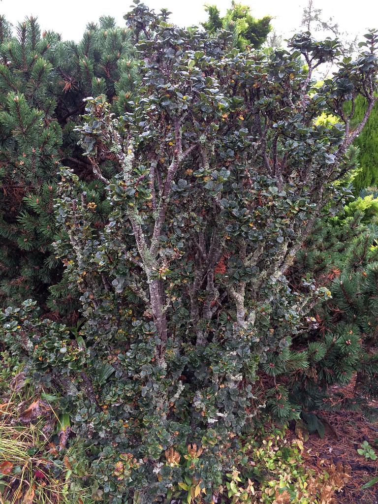 Salix 'Boydii'