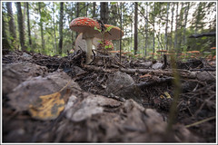 20140908. Toadstool. 2132 (Tiina Gill (busy)) Tags: autumn fall nature mushroom forest estonia fungi toadstool päädeva