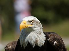 Aguila Calva / Bald Eagle (Sergio Bautista) Tags: minolta eagle sony bald apo blanca cabeza santander aguila cabarceno 100300 calva a550