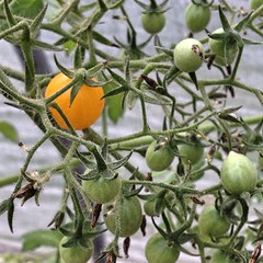 "Our forecast for the evening includes a low temperature in the 30s.  I have my fingers crossed that the heirloom tomato plants in our unheated hoop house will endure the cold and bounce back with a little help from the warm sunshine tomorrow morning.    M • <a style=""font-size:0.8em;"" href=""http://www.flickr.com/photos/54958436@N05/15266135570/"" target=""_blank"">View on Flickr</a>"