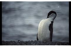 1998_12-002-20-G (becklectic) Tags: antarctica antarcticpenninsula 1998 penguin bird worldtrekker
