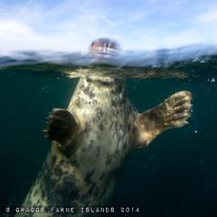 Sealed (Graggs) Tags: under over scuba diving seal split farneislands underwaterphotography seasea