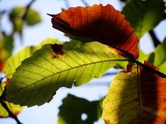 OUTONO (mariaminhota) Tags: autumn light fall folhas luz portugal beauty leaves autumnleaves autumncolors beleza outono minho colourfulleaves nortedeportugal folhasdeoutono naturebeauty belezanatural portuguesepoet northofportugal migueltorga naturalpainting chestnutleaves coresdeoutono pinturanatural folhascoloridas poetaportugus canonpowershotsx210is folhasdocastanheiro
