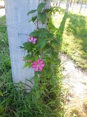 DSCN9369 (en-ri) Tags: verde foglie nikon rosa colonna fiorellini
