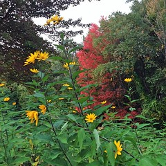 "What a beautiful view behind  our barn this morning! Seeing this bright red fall foliage and the blooming sunchokes was the perfect way to start my day. • <a style=""font-size:0.8em;"" href=""http://www.flickr.com/photos/54958436@N05/15281458467/"" target=""_blank"">View on Flickr</a>"
