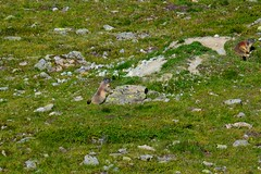 Marmots that take the last summer sun. (GIVI58) Tags: creek suisse svizzera engadin marmots engadine marmotta engadina grisons grigioni valmuragl