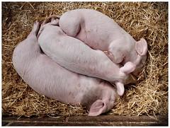 DSCF0255 (Chris_J_L) Tags: sleeping snuggle pig sleep rest resting threesome piglet wimpole