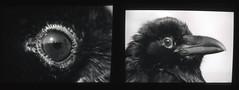 (Max Miedinger) Tags: bw black lynch color film television nikon bob slide lodge r twinpeaks cooper epson f3 developed the davidlynch selfdeveloped pellicola thegiant fomapan v500 letsrock theblacklodge themanfromanotherworld