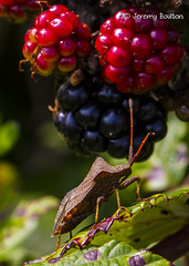 Shield Bug (JKmedia) Tags: macro nature closeup canon bug insect wildlife beetle vegetation shield colourful wembury canoneos7d ef100mmf28lmacroisusm boultonphotography