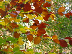 herbstliches Buchenlaub (germancute) Tags: autumn leaves germany landscape deutschland thüringen leaf laub herbst thuringia landschaft blätter lütsche germancute