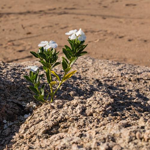 Flower at Malawi Lake