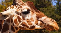 P9270660 Oakland Zoo 20130927 (caligula1995) Tags: giraffe oaklandzoo 2013