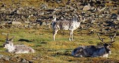 Herd of Reindeer Napping in the Midnight Sun (Derrick.Midwinter) Tags: animal norway reindeer norge north svalbard arctic antlers wildanimal polar scandinavia spitsbergen midnightsun svalbardreindeer northof60