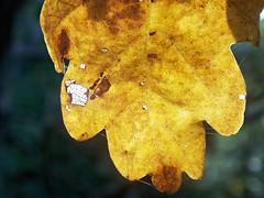 feuille (c.raczka) Tags: trees orange macro tree green vert sheets arbres sheet arbre flou feuilles feuille boeh