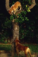 """Da série """"Selvagens"""" (Ribeirocale) Tags: wild dog mutt cachorro wilddog dogsintrees selvgem cãoselvagem cãesemárvores"""