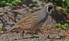 """California quail Callipepla californica • <a style=""""font-size:0.8em;"""" href=""""https://www.flickr.com/photos/50136865@N00/15403266250/"""" target=""""_blank"""">View on Flickr</a>"""