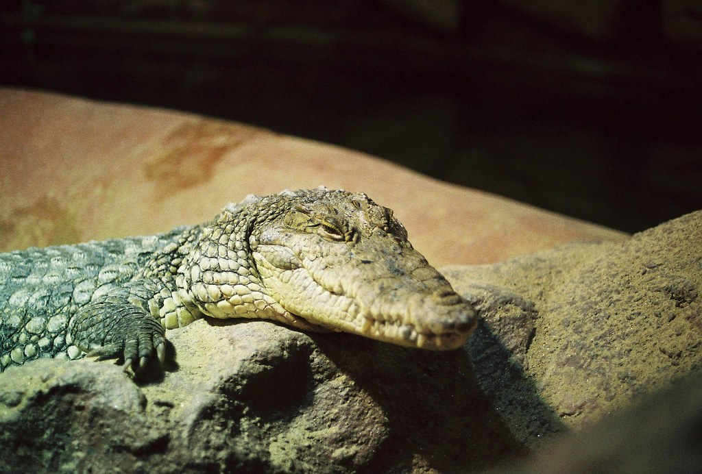 9ea581ae6dd44 Croc (Riisko) Tags  ireland dublin slr nature animal zoo crocodile croc  lizzard