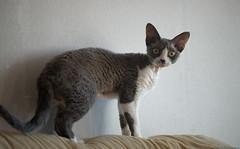 Yoyo 3 (peter_hasselbom) Tags: cats cat curls curlyhair blueandwhite devonrex 105mm drxa09