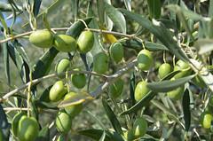 Azeitonas (mamarocarvalho) Tags: green olive aceite olives oil aceitunas portuguese elvas oliveira azeitona azeitonas
