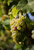 franconian vine (Axel Ku.) Tags: autumn bayern bavaria vineyard herbst franken f20 frankonia unterfranken primelens randersacker canonef35mmf20 canoneos5dmarkiii franconianvine
