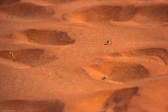 Course de scarabes (trekmaniac-is-back) Tags: desert 1998 animaux sossusvlei diapo namibie