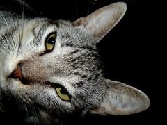 apolo2 (cindzxxx) Tags: cute cat felino pelos