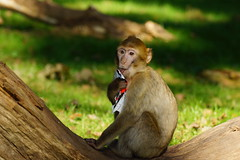 little monkey with a sweet, pt.2 -  Barbary Macaque - Berberaffe (okrakaro) Tags: oktober nature animal germany paper zoo monkey little sweet natur licking kleiner affe rheine 2014 barbarymacaque berberaffe leckt