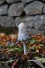 Inkhead Mushroom (David Fryer-Winder) Tags: autumn mushroom leaves wall tall inkhead