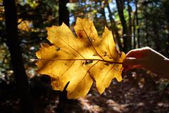 (rose in midair) Tags: park autumn light fallleaves fall leaf woods newyorkstate catskills bendinglight