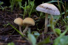 Mami i els besonets ( alfanhu) Tags: macro mushroom closeup fungi fungus seta sella fongs alcntera