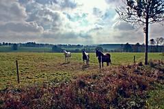Auf der Koppel (HarzTobi) Tags: horses germany deutschland pferde harz koppel niedersachsen lowersaxony clausthalzellerfeld buntenbock oberharz harztobi