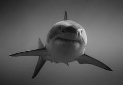 The master of the deep - Le matre des lieux (Sharkoliv) Tags: underwater 2014 guadalupeisland nautilusexplorer