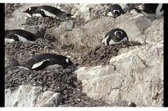 1998_12-007-22-G (becklectic) Tags: bird penguin nest antarctica 1998 views100 antarcticpenninsula worldtrekker