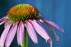 Echinacea by Lopshire (Lopshire Photography) Tags: plant flower macro nature closeup echinacea nj eastcoast macrophotography hunterdoncounty lopshire lopshirephotography sigma50th gearupwithsigma