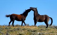Tender Curiosity (Aspenbreeze) Tags: horse colorado bronco mustang stallion wildhorse horseplay aquine aspenbreeze moonandbackphotography coloradowildhorses bevzuerlein