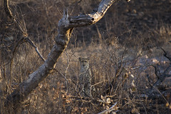 Cheetah (S.Wray) Tags: africa wild holiday colour nature canon southafrica photography zoom wildlife 300mm safari bigcat camouflage cheetah predator 75300 zoomlens 600d