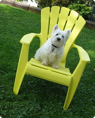 """10/12A ~ """"Dutch Angle"""" (ellenc995) Tags: yellow riley chair westhighlandwhiteterrier dutchangle ruby3 coth supershot akob abigfave citrit pet100 rubyphotographer challengeclub coth5 thesunshinegroup 12monthsfordogs14"""
