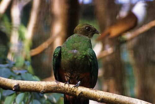 "041 Quetzal (Walsrode 1982) • <a style=""font-size:0.8em;"" href=""http://www.flickr.com/photos/69570948@N04/15517840100/"" target=""_blank"">Auf Flickr ansehen</a>"